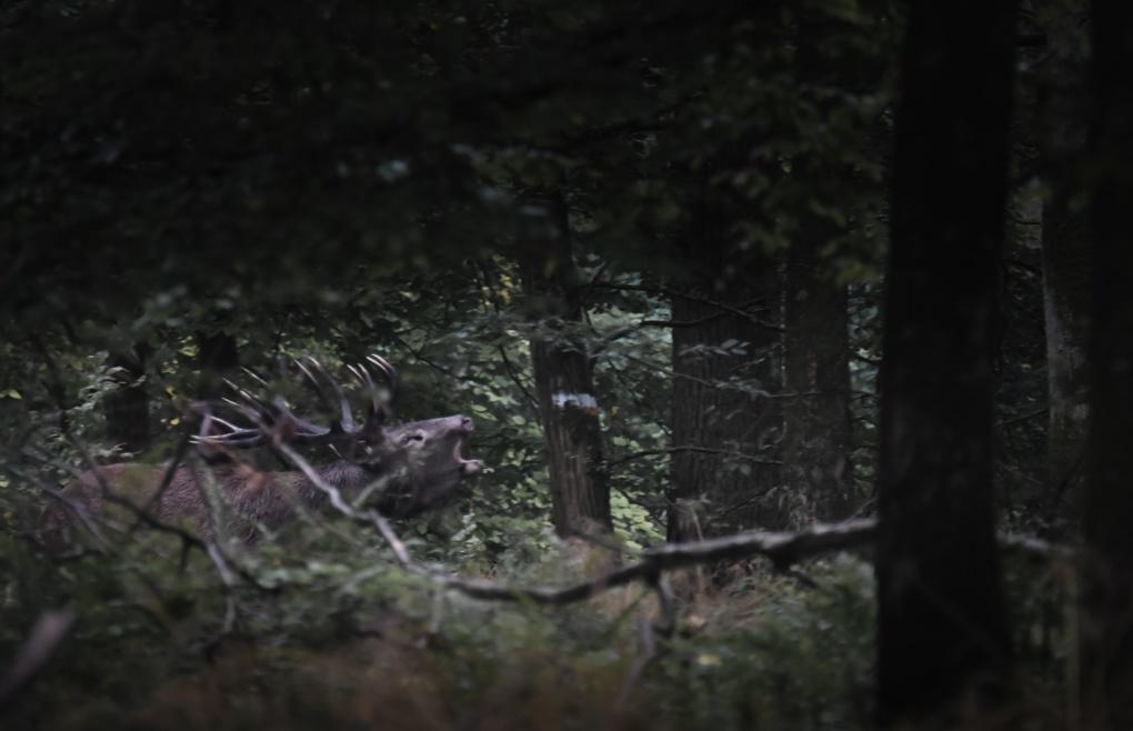 Un autre cerf photographié durant le brame