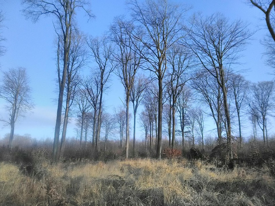 Habitat du pic noir : l'hêtraie
