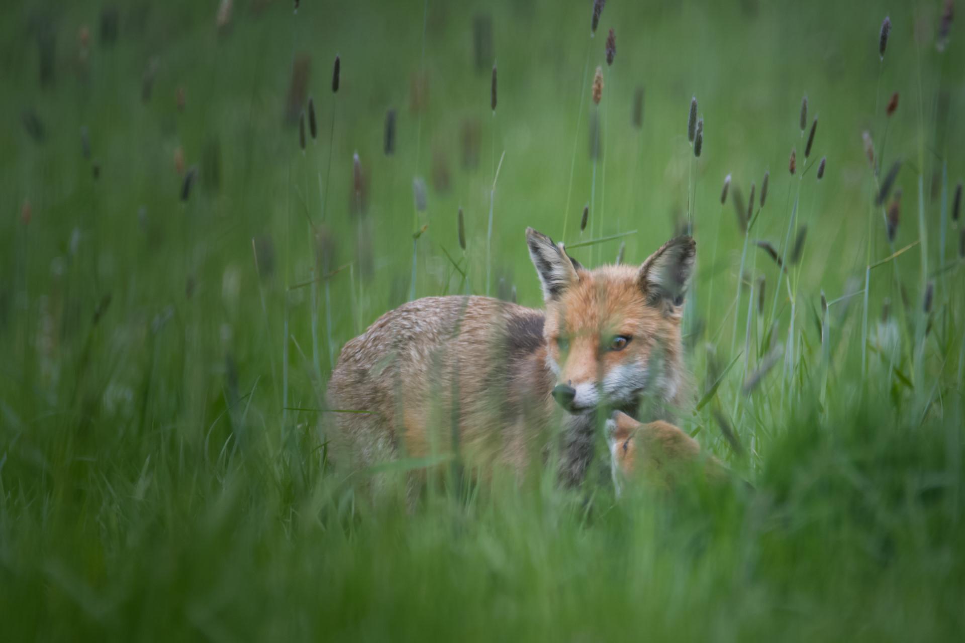 Adulte et jeune renard roux
