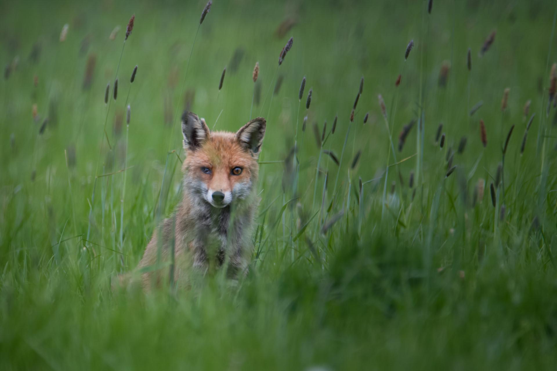 Adulte renard roux blessé