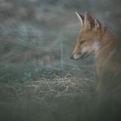 Scènes de vie d'un jeune renard roux