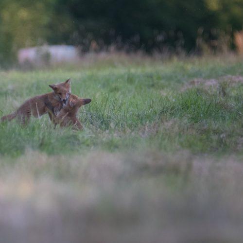 Jeux de jeunes renards roux